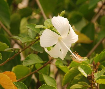 Unduh 6700 Koleksi Gambar Daun Bunga Kembang Sepatu Paling Cantik HD